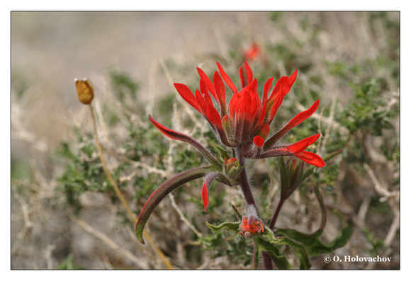 Indian paintbrush (Castilleja sp.) from Death Valley National Park, California, USA