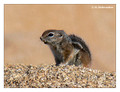 White-Tailed Antelope Squirrel (Ammospermophilus leucurus) in Joshua Tree National Park, California, USA