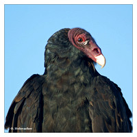 New World Vultures (Cathartidae)
