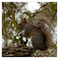 Eastern Gray Squirrel (Sciurus carolinensis) in Ochlockonee River State Park, Florida, USA