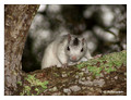 Leucistic Eastern Gray Squirrel (Sciurus carolinensis) in Ochlockonee River State Park, Florida, USA