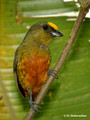 Olive-backed Euphonia (Euphonia gouldi) male in La Selva Reserve