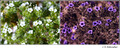 Cryptantha sp. (Boraginaceae) in visible (left) and reflected UV (right)
