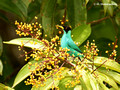 Green Honeycreeper (Chlorophanes spiza) male in La Selva Reserve