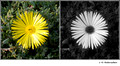 Delosperma sp. (Aizoacea) in visible (left) and reflected UV (right)