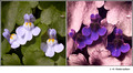 Cymbalaria muralis (Scrophulariaceae) in visible (left) and reflected UV (right)