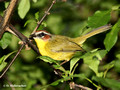 Rufous-capped Warbler (Basileuterus rufifrons) in the Inbioparque, Heredia