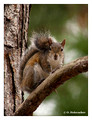 Eastern Gray Squirrel (Sciurus carolinensis) near Miami, Florida, USA