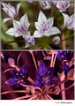 Allium sp. (Liliaceae) in visible (top) and reflected UV (bottom)