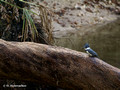 Belted Kingfisher (Ceryle alcyon) in Blue Springs State Park
