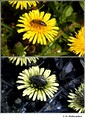 Taraxacum sp. (Asteraceae) in visible (top) and reflected UV (bottom)