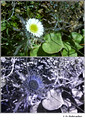 Erigeron uniflorus in visible (top) and reflected UV (bottom)