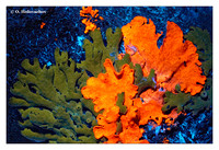 UV-induced visible fluorescence - lichens
