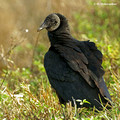 Black Vulture (Coragyps atratus) in the Merritt Island National Wildlife Refuge