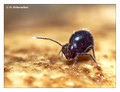Springtail (Collembola) from around Stockholm