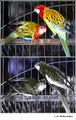 Eastern rosella (Platycercus eximius) in visible (top) and reflected UV (bottom)