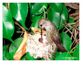June 16 - progress in the nest of Anna's Hummingbird (Calypte anna)