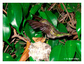 June 15 - progress in the nest of Anna's Hummingbird (Calypte anna)