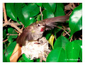 June 17 - progress in the nest of Anna's Hummingbird (Calypte anna)