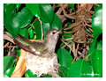 June 18 - progress in the nest of Anna's Hummingbird (Calypte anna)