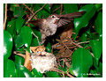 June 21 - progress in the nest of Anna's Hummingbird (Calypte anna)