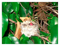 June 20 - progress in the nest of Anna's Hummingbird (Calypte anna)
