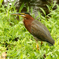 Green Heron (Butorides virescens) in the Inbioparque, Heredia