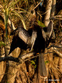 Anhinga (Anhinga anhinga) in the Everglades National Park