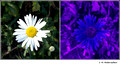 Chrysanthemum sp. in visible (left) and reflected UV (right)