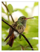 Hummingbirds (Trochiilidae)