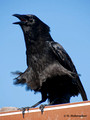 American Crow (Corvus brachyrhynchos) in the Everglades National Park