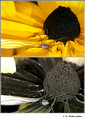 Rudbeckia hirta (Asteraceae) in visible (top) and reflected UV (bottom)