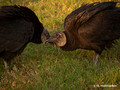 Black Vulture (Coragyps atratus) in the Everglades National Park