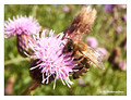 Unidentified bee (Apis sp.) from Stockholm, Sweden