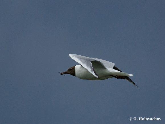 Black-headed Gull (Larus ridibundus) in Hjalstaviken reserve, Sweden