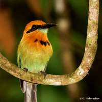 Birds of Costa Rica: Non-passerines