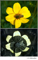 Bidens ferulifolia in visible (top) and reflected UV (bottom)